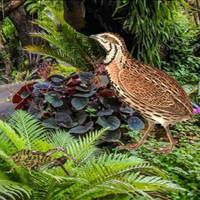 Free online flash games - Quail Bird Rainforest Escape